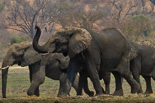 Elephants in the Zambezi National Park