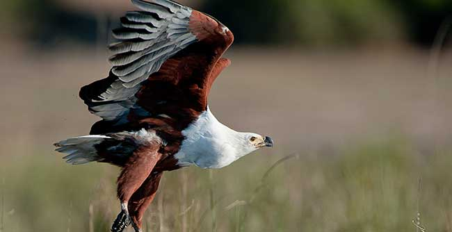 Fish Eagle spotted on the River Safari