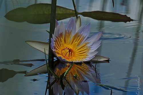 A beatuiful lily flower - Victoria Falls Flora