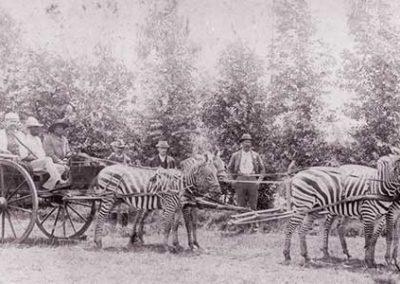 Zebras pulling a cart