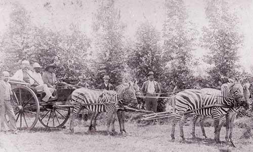 Zebras pulling a cart :)