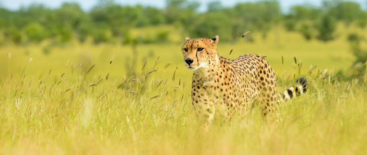 Sylvester the cheetah at Victoria Falls