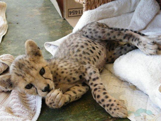Sylvester as a cub